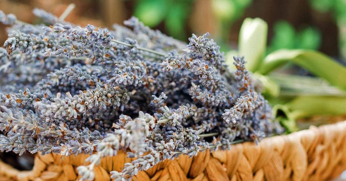 How To Use Lavender Herb For Home Body And Food Pronounce